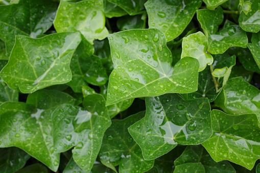 雨「Close-up of wet leaves」:スマホ壁紙(15)