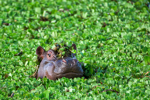 Hippopotamus「Close-up of Wild African Hippo with Head Above Floating Water Lettuce」:スマホ壁紙(7)