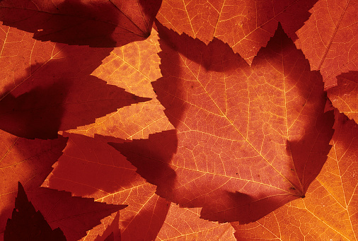 Redmond - Washington State「Close-up of orange maple leaf, Redmond, Washington State, USA」:スマホ壁紙(7)