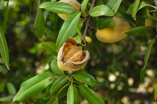 Grove「Close-up of Ripening Almonds on Tree」:スマホ壁紙(10)