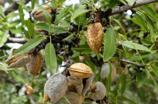 Grove「Close-up of Ripening Almonds on Tree」:スマホ壁紙(16)