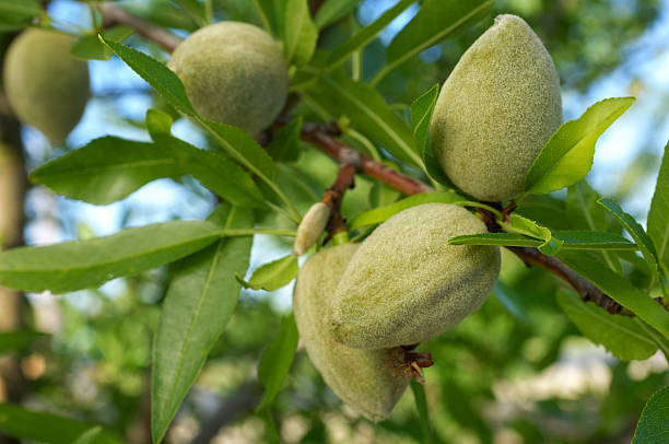 Close-up of Ripening Almonds on Central California Orchard:スマホ壁紙(壁紙.com)