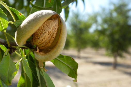 Branch - Plant Part「Close-up of Ripening Almonds on Central California Orchard」:スマホ壁紙(6)