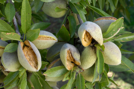 Grove「Close-up of Ripening Almonds on Central California Orchard」:スマホ壁紙(3)