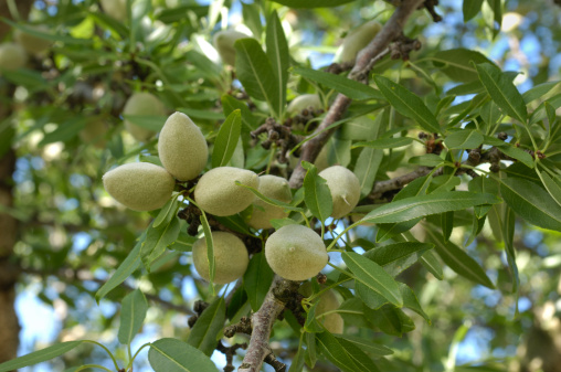Grove「Close-up of Ripening Almonds on Central California Orchard」:スマホ壁紙(16)