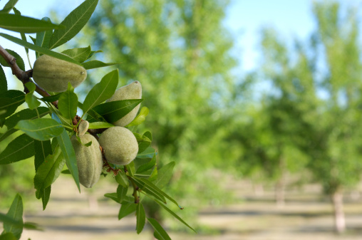 Grove「Close-up of Ripening Almonds on Central California Orchard」:スマホ壁紙(15)