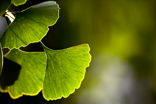 Frond「Close-up of Ginkgo biloba leaves back lit」:スマホ壁紙(11)