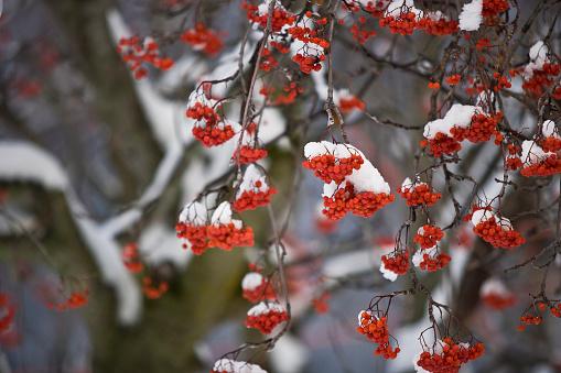 Rowan Tree「Close-up of mountain ash covered in snow in Fernie, Canada.」:スマホ壁紙(9)
