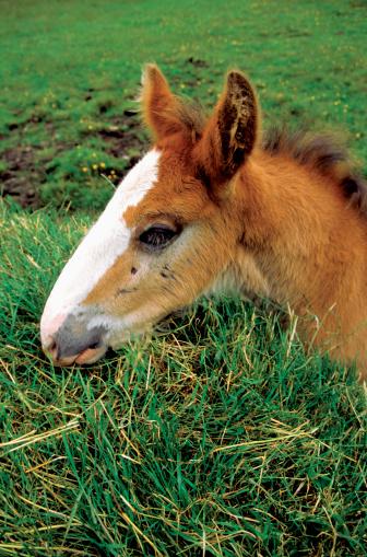 Isle of Man「Close-up of a colt in a field, Cregneshon, Isle of Man, British Isles」:スマホ壁紙(14)