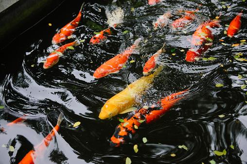 Carp「Close-up of Koi Carp fish swimming in a pond, Indonesia」:スマホ壁紙(5)