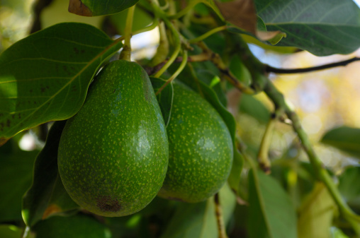 Avocado「Close-up of Avacado Rippening on Tree」:スマホ壁紙(5)