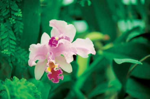 Nadi「Close-up of a Two-Tone Orchid, Garden of the Sleeping Giant, Viti Levu Island, Nadi, Fiji」:スマホ壁紙(5)