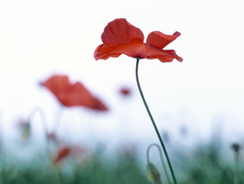 Ardennes Forest「Close-up of red Corn Poppy flower in field.」:スマホ壁紙(10)