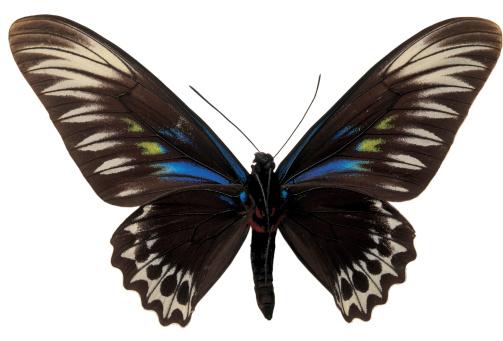 黒い 蝶々