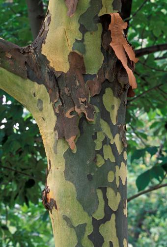 セイヨウカジカエデ「Closeup of mottled bark peeling off in large thin flakes from trunk of Sycamore Tree, Platanus occidentalis, Michigan, USA」:スマホ壁紙(15)