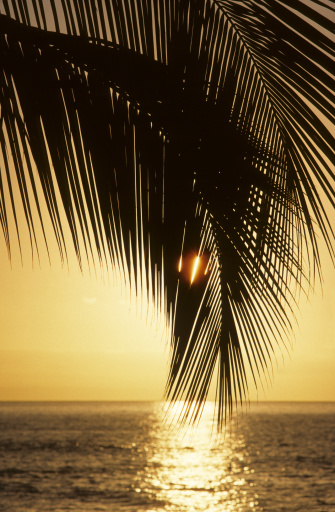 Frond「Close-up of a palm fronds at sunset, warm yellow sky reflecting on the ocean」:スマホ壁紙(4)