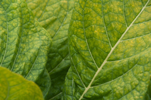 Pennsylvania「Close-up of a tobacco leaf」:スマホ壁紙(1)