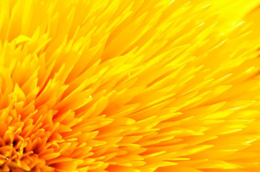 ひまわり「Close -up of 黄色サンフラワーペタルズ」:スマホ壁紙(18)