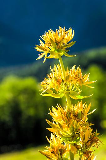Gentian「Close-up of yellow Gentian (Gentiana) blooming flowers, Swiss Val Ferret, Alps」:スマホ壁紙(3)
