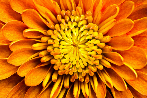 Chrysanthemum「Closeup of a chrysanthemum centered in the frame」:スマホ壁紙(12)