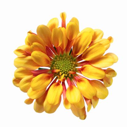 flower「close-up of a chrysanthemum」:スマホ壁紙(3)