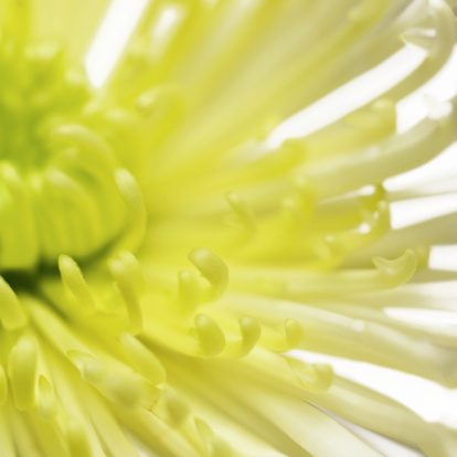 花「Close-up of a chrysanthemum」:スマホ壁紙(8)