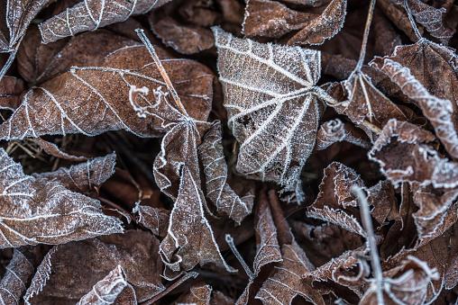 氷晶「Close-up of rime ice on autumn leaves in the morning」:スマホ壁紙(5)