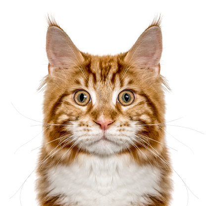 純血種のネコ「Close-up of a Maine Coon looking at camera, isolated on white」:スマホ壁紙(8)
