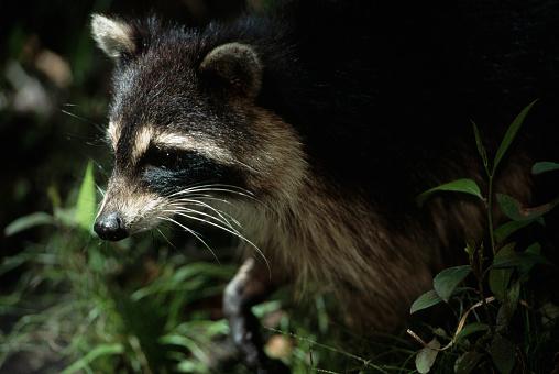Ocala National Forest「Close-up of Raccoon」:スマホ壁紙(11)