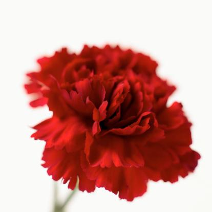 カーネーション「Close-up of a carnation」:スマホ壁紙(13)