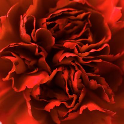 カーネーション「Close-up of a carnation」:スマホ壁紙(7)