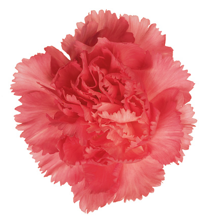 カーネーション「close-up of a carnation」:スマホ壁紙(8)