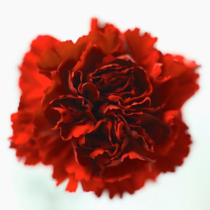 カーネーション「Close-up of a carnation」:スマホ壁紙(5)