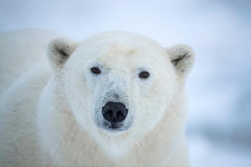 Polar Bear「Close-up of a polar bear's (Ursus maritimes) face looking at the camera」:スマホ壁紙(17)