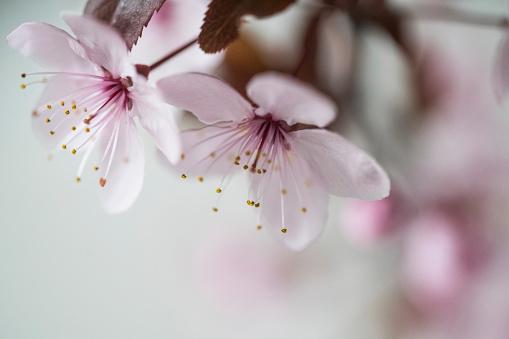 Fruit Tree「Close-up of blossoming apple tree」:スマホ壁紙(19)