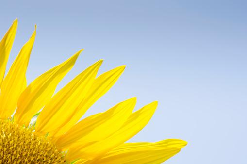 ひまわり「Close-up of sunflower」:スマホ壁紙(9)