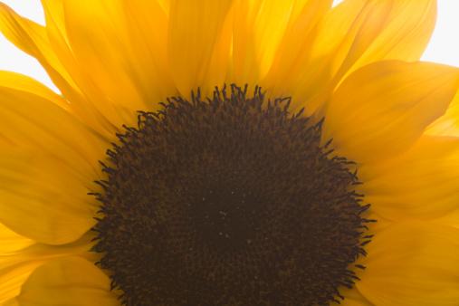 ひまわり「Close-up of sunflower」:スマホ壁紙(10)