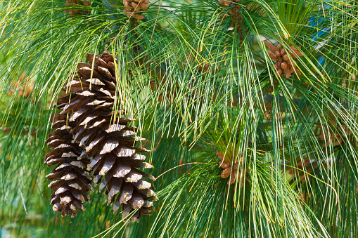 Nouvelle-Aquitaine「Close-Up of Pine Cones on Tree」:スマホ壁紙(3)
