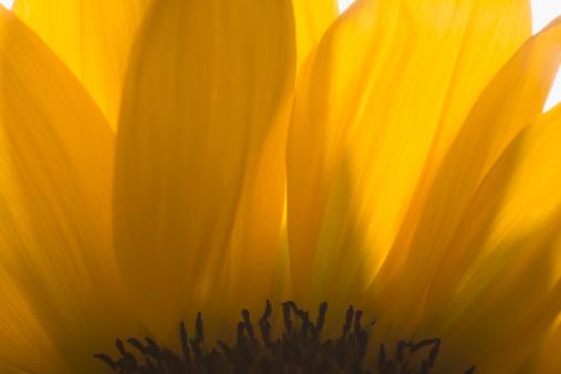ひまわり「Close-up of sunflower petals」:スマホ壁紙(18)