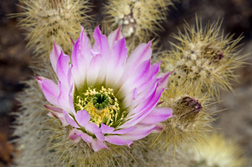 ハリネズミ「Closeup of flowering Strawberry Hedgehog Cactus, Echinocereus engelmannii. Cactaceae (cactus family). Sonoran Desert, Saguaro National Park, Tucson, Arizona, USA」:スマホ壁紙(3)