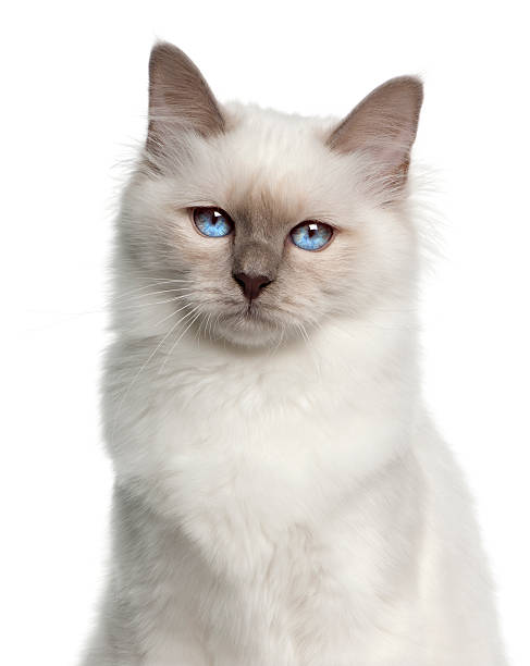 Close-up of a Birman (5 months old):スマホ壁紙(壁紙.com)