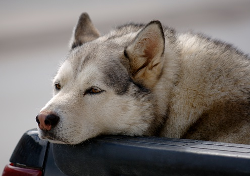 Drooping「A close-up of a Siberian Husky」:スマホ壁紙(15)