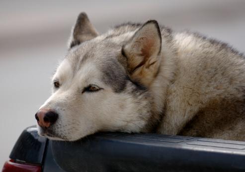Drooping「A close-up of a Siberian Husky」:スマホ壁紙(19)
