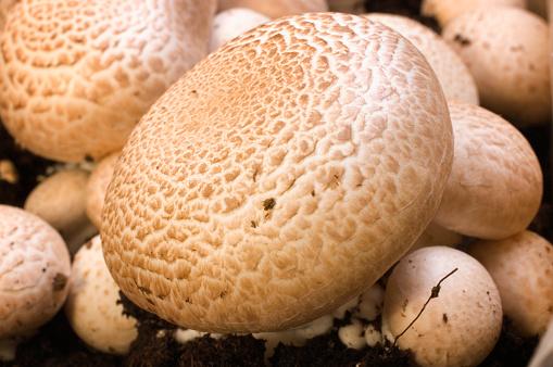 Portobello Mushroom「A Close-up of Portobello mushroom」:スマホ壁紙(7)