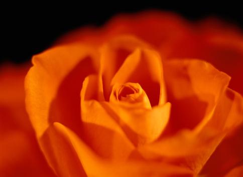 薔薇「Close-up of an Orange Rose」:スマホ壁紙(13)