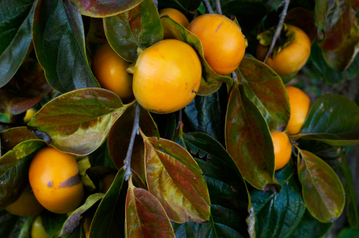 柿「クローズアップのオーガニックフルーツ木の枝にパーシモン」:スマホ壁紙(13)
