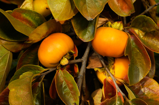 persimmon「Close-up of Organic Persimmon Fruit On Tree Branch」:スマホ壁紙(8)