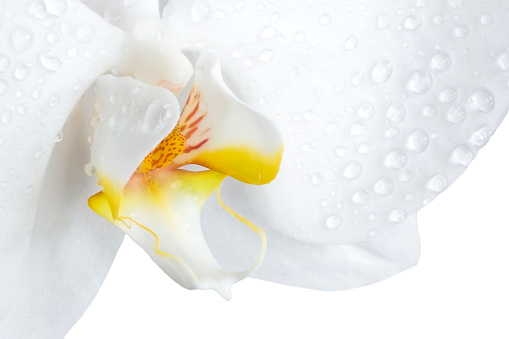 Girly「Closeup of a phalaenopsis orchid isolated on white」:スマホ壁紙(15)