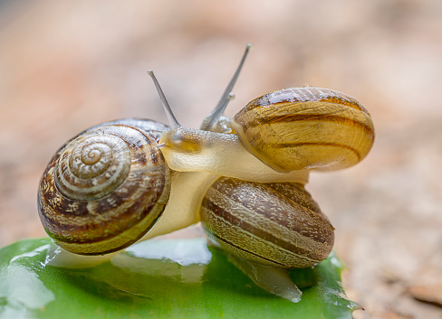 snails「Close-up of three snails mating on a green leaf」:スマホ壁紙(4)