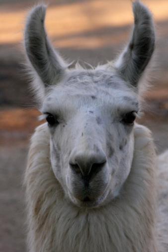 Horned「Close-up of a Llama (Lama glama), Buenos Aires」:スマホ壁紙(17)